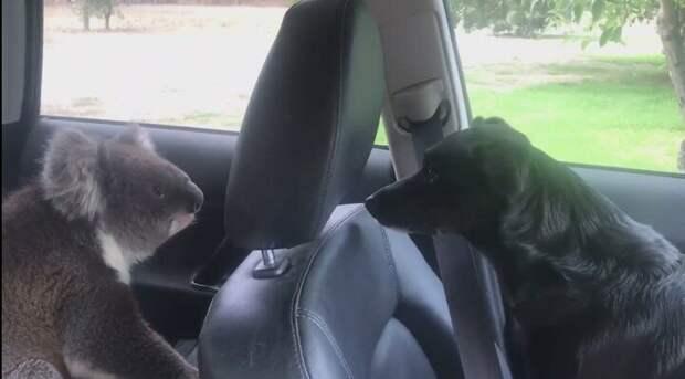 Австралийский винодел Тим Уитроу  отошёл к винограднику и оставил дверь автомобиля открытой встреча, животные, забавно, история, коала, кондиционер