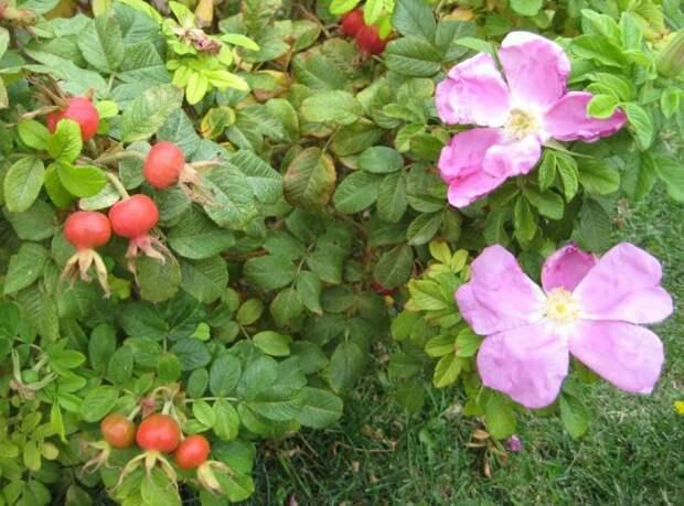 Когда и как цветёт куст шиповника в средней полосе: фото, время цветения