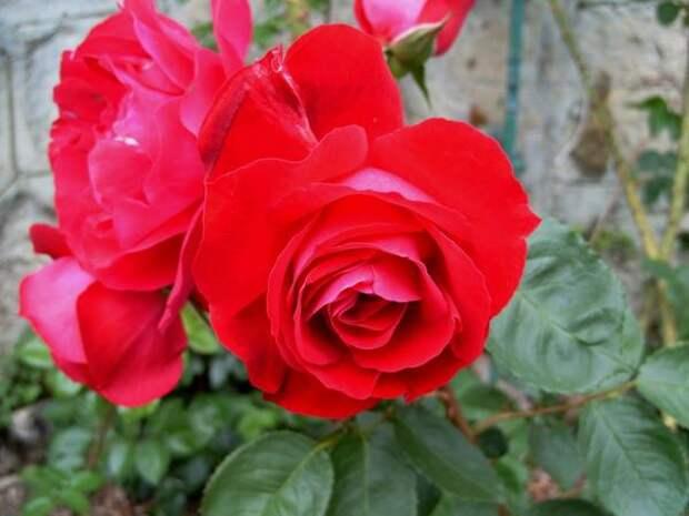 Роза Кордеса сорт Аджимушкай. Фото автора