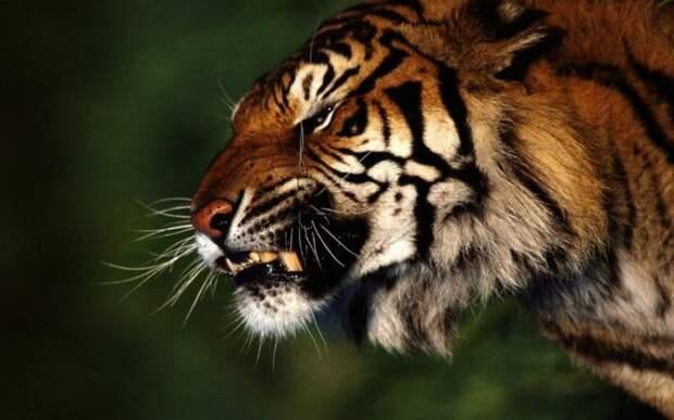 тигры сильнее львов