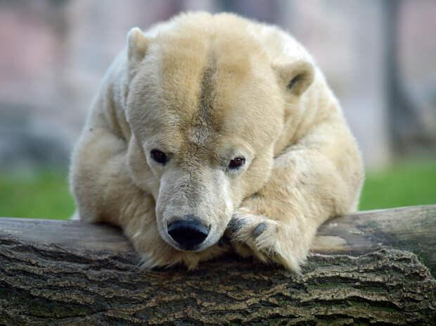 Эта белая медведица является старейшим медведем в зоопарке, ей 25 лет, но из-за болезни она имеет маленький рост — всего 1.35 м по сравнению с 2.20 у ее товарищей
