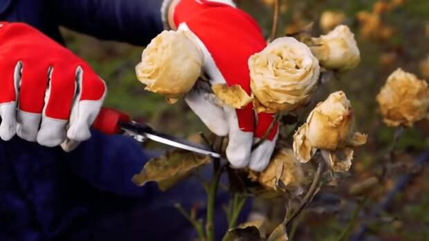 Как правильно обрезать розы и укрыть их на зиму