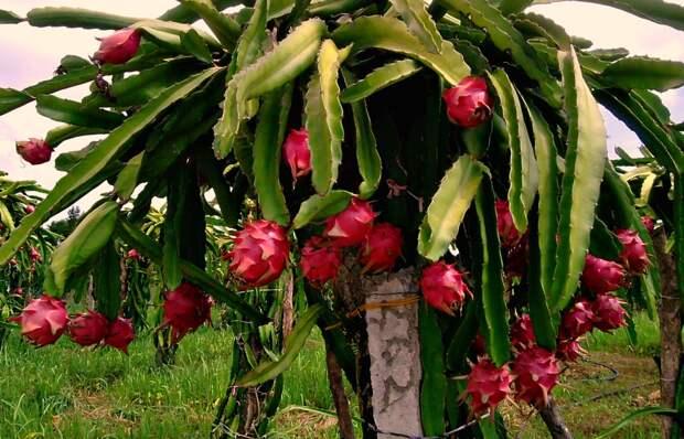 Клюкву ловят сетями, а в инжире полно мертвых ос — как растут привычные растения