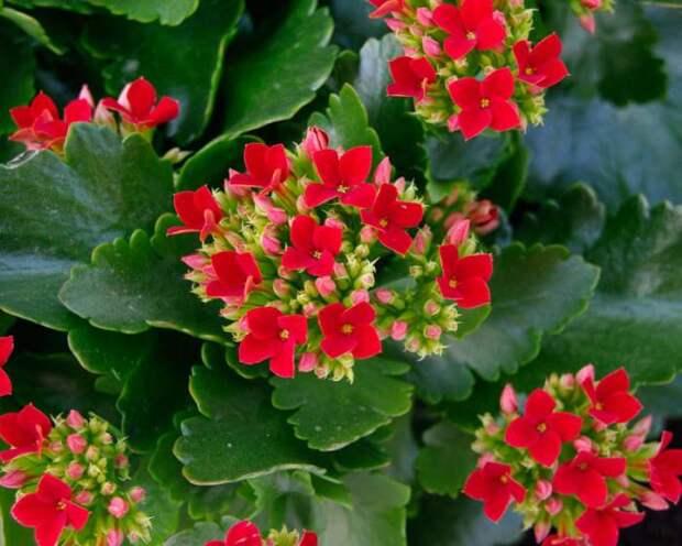 Вот как заслужить повторное густое цветение у каланхоэ