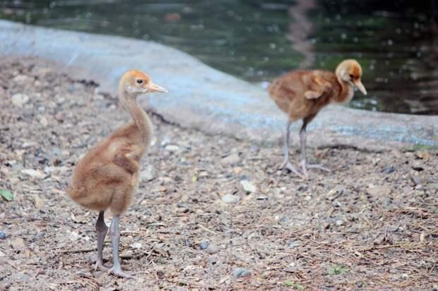 Фото дня: японские журавли из зоопарка «Лимпопо» впервые стали родителями