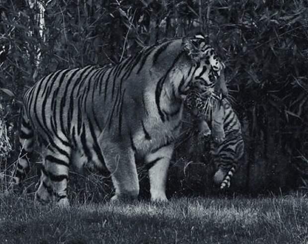 Тигрица рыдая вышла к людям со слезами на глазах. Весь посёлок взвыл, когда узнали причину