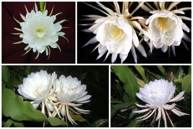 Цветок Kadupul. интересное, природа, раз в жизни, факты, фауна, флора, цветы
