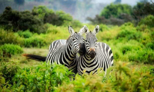 В Британии жеребёнок зебры умер после испуга