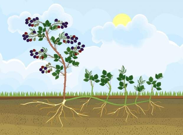 схема роста малины