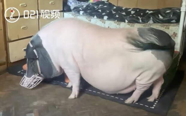 Китайский мини-пиг вырос и превратился в здоровенного хряка