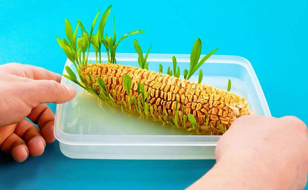 Проращиваем дома морковь, кукурузу и клубнику: все начинает расти на обычном подоконнике