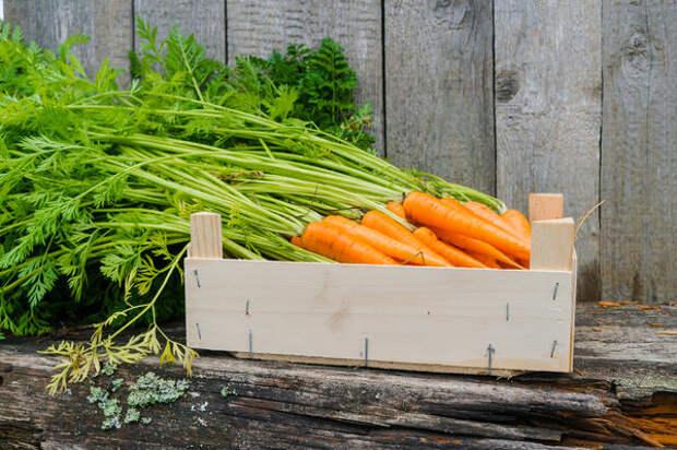 Почему вянет морковь в погребе