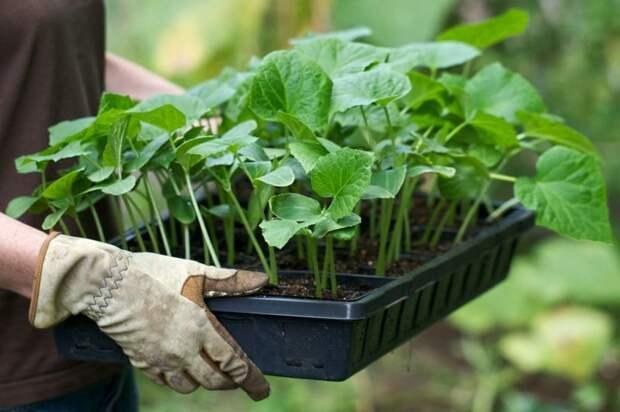 6. Пренебрежение или злоупотребление подкормками дача, овощи, огород, растения, советы, урожай