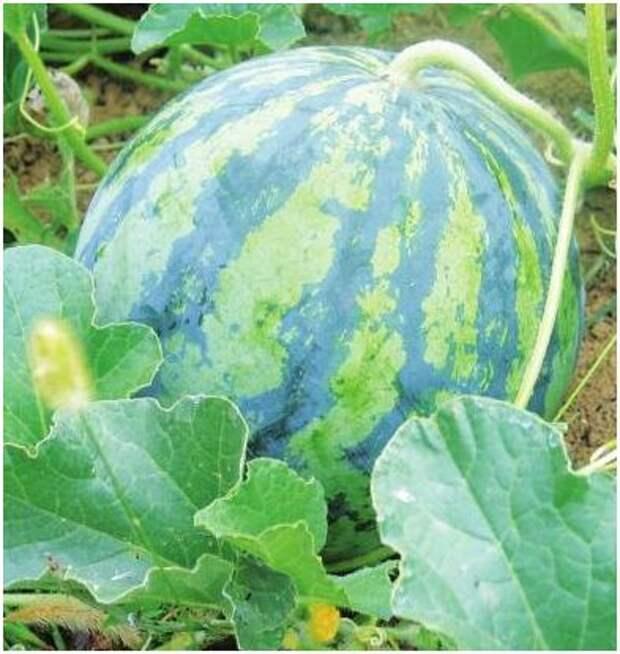 Выращиваем арбузы в яме