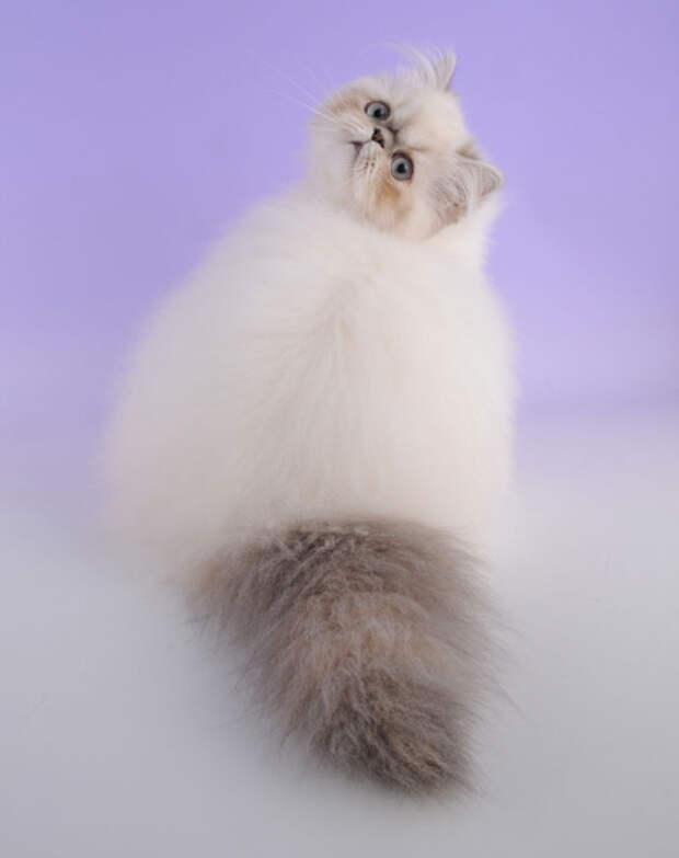 Очень своеобразная порода котов.