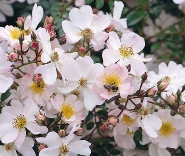 Почвопокровная роза Имменси