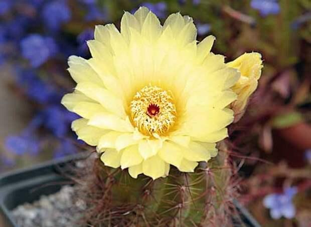 кактусы уход, кактусы цветение, Notocactus, Нотокактус Отто