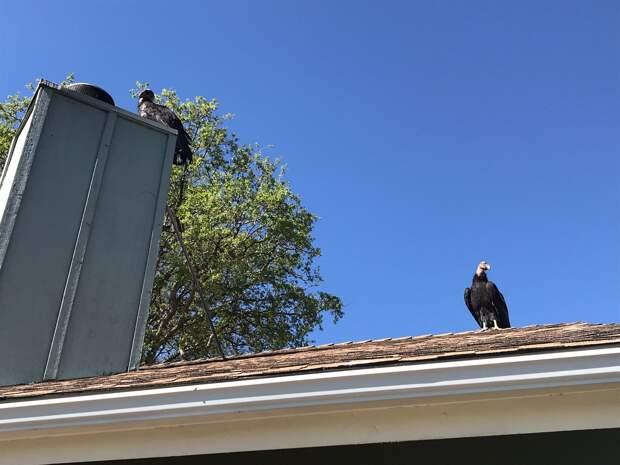 Редкие кондоры оккупировали дом женщины в Калифорнии: фото