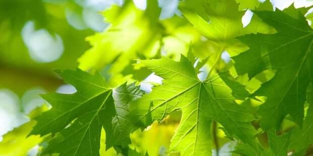 Опил деревьев на Пулковской санкционирован Департаментом природы