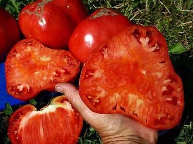 Бражка для урожая помидор. Ускоряет созревание помидор в августе