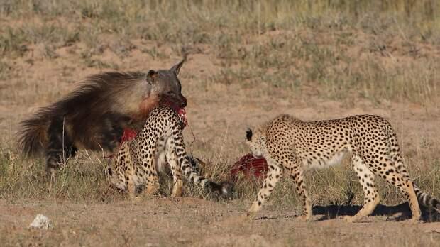 Пять гепардов защищают добытого ими спринбока от бурой гиены в Южной Африке