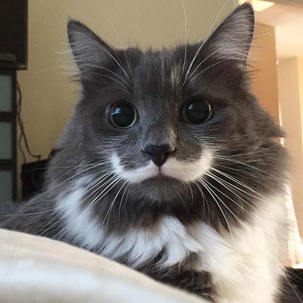 Кот с усами - Гамильтон животные, забавно, коты, кошки, неожиданно, окрас, окрас кошек, фото