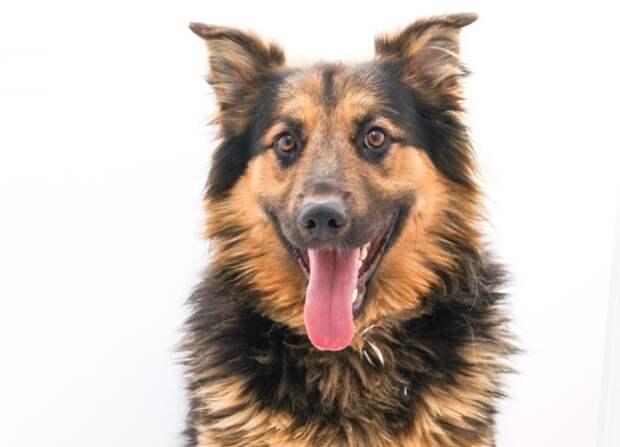 Пес Туман, спасенный волонтерами приюта на Зорге, ждет хозяина Фото предоставлено приютом