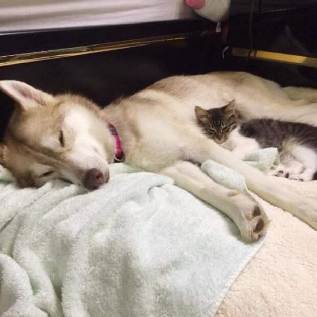 Хаски усыновила котенка
