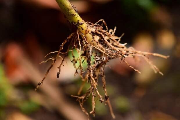Укоренение черенка с помощью стимулятора корнеобразования