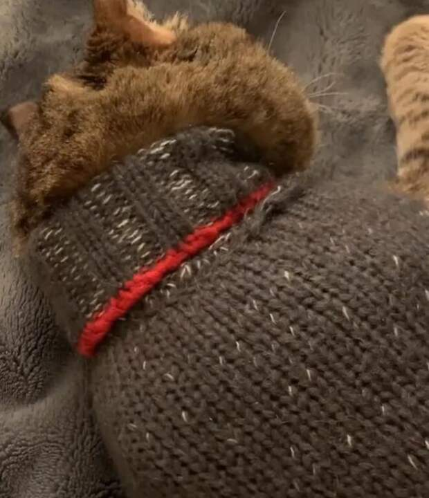 Каждый раз, когда с него снимают свитер, пожилой кот рыдает навзрыд