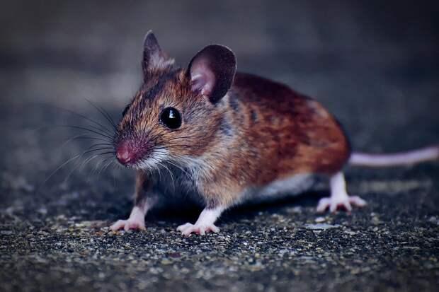 Два района Удмуртии избежали заражения мышиной лихорадкой