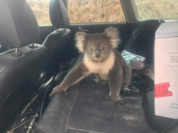 Ему потребовалось время, чтобы заставить коалу уйти встреча, животные, забавно, история, коала, кондиционер