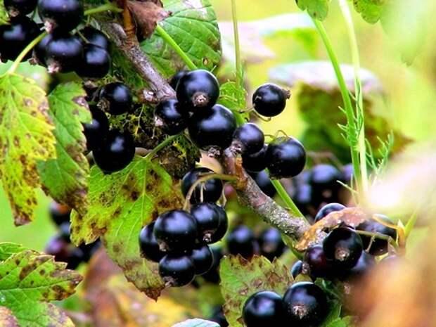 Чёрная смородина – сорта, посадка и уход