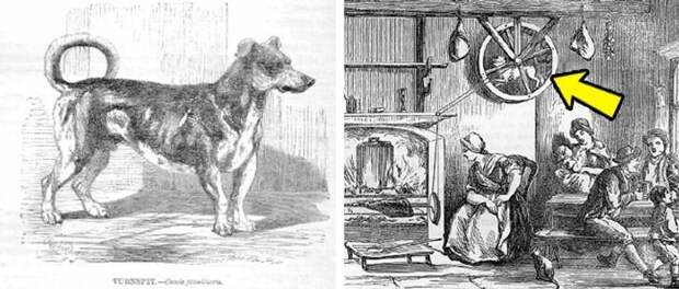 Вымершая вертельная собака передаёт привет. Этот пёс работал живым двигателем: он бегал в колесе, вращая вертел.