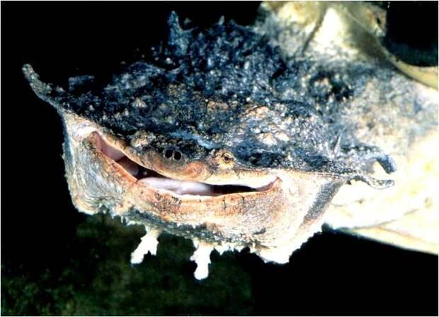 Матамата – обжора из Южной Америки животные, экзотика