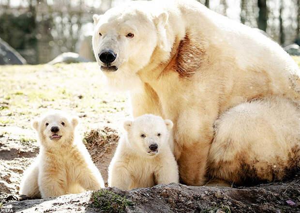Мама-медведица со своими малышами.