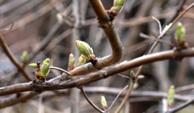 Более 130 деревьев и 2,3 тыс. кустарников высадят в Некрасовке весной