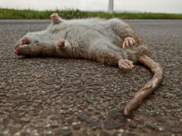 «Детей провожаем в школу»: в центре Омска крысы бросаются на людей