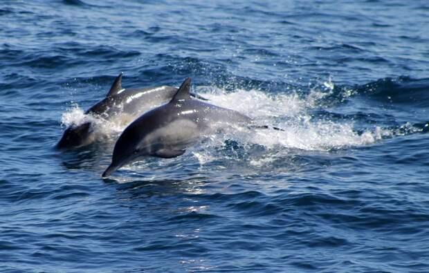 «Роснефть» и РАН подвели итоги первого постсоветского исследования черноморских дельфинов