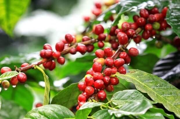 Кофе интересное, овощи, происхождение, факты