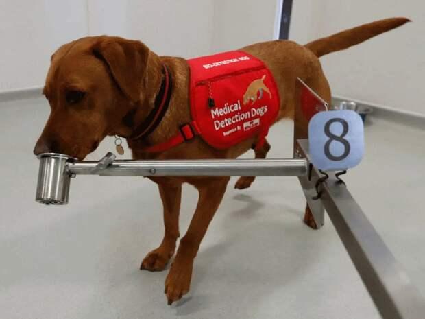 В Великобритании хотят обучить собак выявлять коронавирусную инфекцию