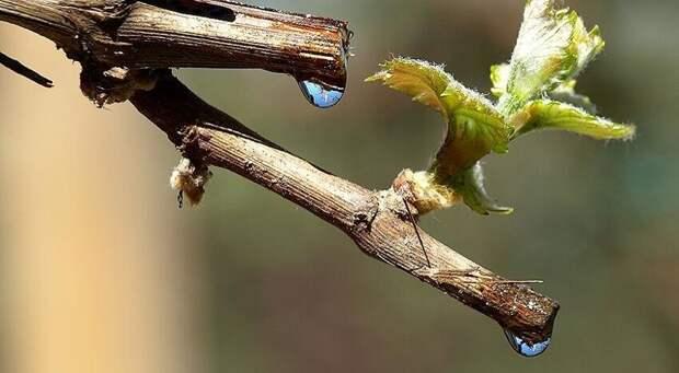 Не совсем дерево - сок виноградной лозы