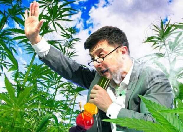 Зеленского заставили срочно заняться марихуаной
