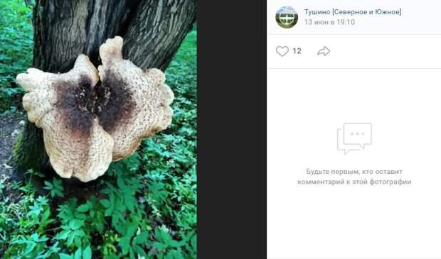 Фото дня: гигантский гриб-трутовик
