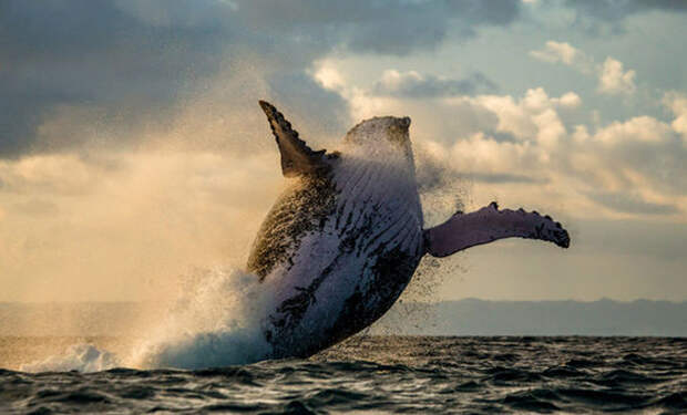 Стая косаток начала охоту на кита с детенышем и получила отпор