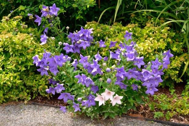 Многолетний садовый цветок Ширококолокольчик (Platycodon)