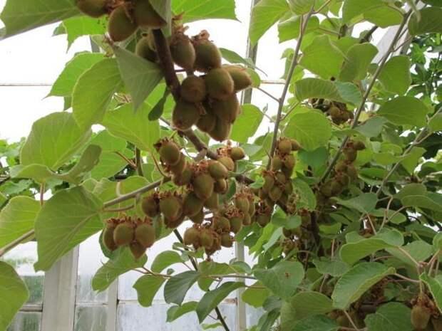 Как вырастить киви дома