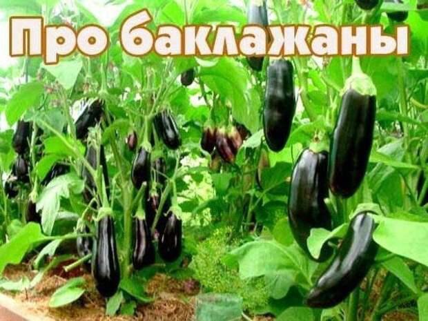 Десять заповедей для выращивания баклажан.