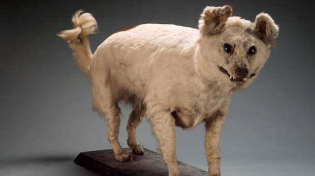 Это чучело собаки породы Кури из Новой Зеландии. Её вывели исключительно для того, чтобы приносить в жертву. Так что не удивляйтесь, что она так рада своему вымиранию...