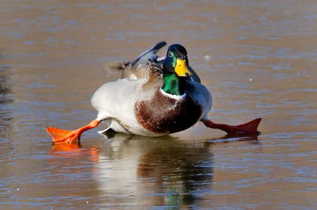 Кряква пытается ходить на замерзшем пруду в Юконе, штат Оклахома